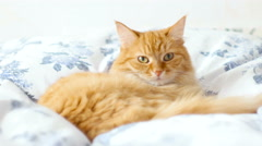 Ginger cat lies on bed. Stock Footage
