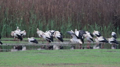 White Storks roosting Stock Footage