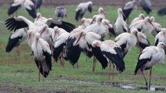White Storks colony roosting in the rain Stock Footage