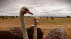 Ostriches peering into camera Stock Footage