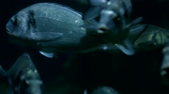 Deep water fish swimming Stock Footage