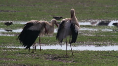 Common Crane and White Storks in the lake of hula valey - stock footage