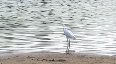 White crane walking action in the reservoir Stock Footage