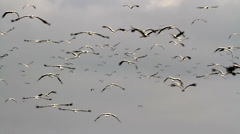 White storks flying and migrating - stock footage