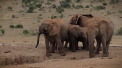 Herd of African Elephant drinking at waterhole - stock footage