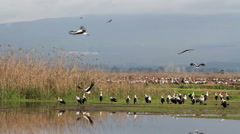 White storks flying flying in hula valley - stock footage