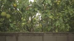 Raining on lemon trees Stock Footage