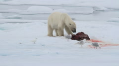 Polar bear eating seal on ice - stock footage