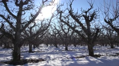 4K Orchard in Winter with Snow, Apple Fruits, Tree Branches Stock Footage