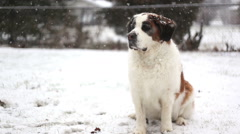 Dog annoyed in snow, video - stock footage