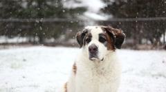 Close up of Saint Bernard in snow, video Stock Footage