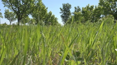 Tracking, Walking in Green Grass, View Fruits Trees Orchard in Spring, POV Stock Footage