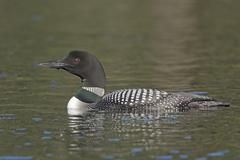 Common Loon in the Wilderness - stock photo