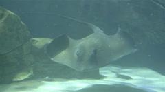 Stingray. Aquarium, Fish Tank, Sea. 4K UHD. Stock Footage
