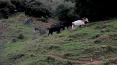Billy Goats in Greece Stock Footage