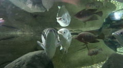 Archer Fish  Swimming Underwater Stock Footage