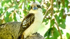 Closeup detail of wild Kookabura bird moving its head as it watches Stock Footage