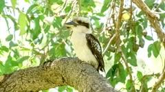 Territorial Kookaburra bird watching as black raven lands on branch and flies Arkistovideo