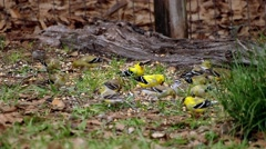 Golden Finches Eating Seed Stock Footage