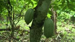 PAKRO COCOA FRUIT - TILT DOWN TREE Stock Footage