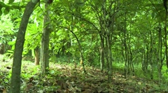 WIDE ON PAKRO COCOA FRUIT TREES Stock Footage