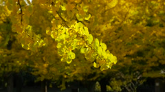 Ginkgo leaves in a city park, Tokyo, Japan Stock Footage