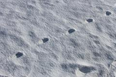 Stock Photo of Dogs imprint on the snow