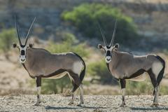 Oryx Oryx gazella Kgalagadi Transfrontier Park Northern Cape Province South - stock photo
