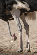 Ostrich Struthio camelus hangs his head Kgalagadi Transfrontier National Park - stock photo