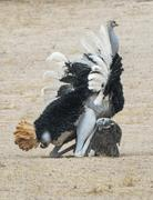 Ostrich Struthio camelus couple mating courtship copulation Kgalagadi Stock Photos