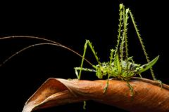 Katydid Tettigoniidae Andean cloud forest Mindo Ecuador South America Stock Photos