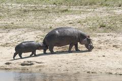Hippopotamus Hippopotamus amphibius female with young Sabi Sands Game Reserve - stock photo