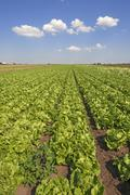 Stock Photo of Salat Anbau in garlic country vegetable growing area in Hofles near Nuremberg