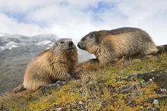 Stock Photo of Alpine marmots Marmota marmota KaiserFranzJosefsHohe High Tauern