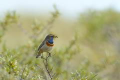 Bluethroat Cyanosylvia svecica with caterpillar in its beak Texel West Frisian Stock Photos