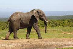African bush elephant Loxodonta africana Addo Elephant National Park Eastern Stock Photos