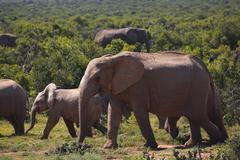 African bush elephants Loxodonta africana herd of juveniles Addo Elephant Stock Photos