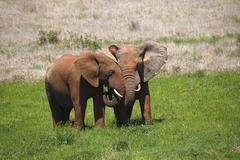 African bush elephants Loxodonta africana calves covered in red mud Addo Stock Photos