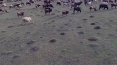 A herd of cows on the field Stock Footage