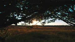 Sunset trough leaves of old oak with heath tracking Stock Footage