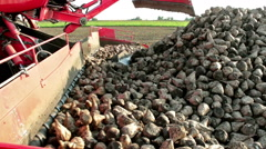 Workhorse for loading  sugar beet - stock footage