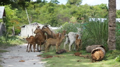 Goats on the side of the road Stock Footage