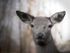 the alert deer - stock photo