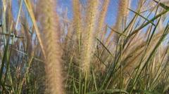 Natural scene beautiful Japanese silvergrass Stock Footage