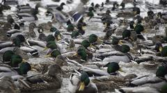 lot of ducks in winter pond - stock photo