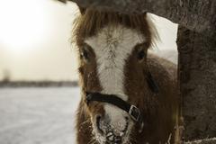 Portrait of pony  in winter paddock Stock Photos