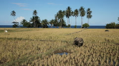 Bull in the rice field Stock Footage