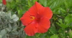 Red Hibiscus dancing in the mild wind. January 2016 Stock Footage
