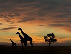 Giraffe during african sunset Stock Photos