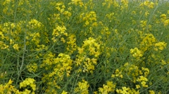 Closeup of the  field  blooming canola. Stock Footage